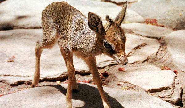 Фото: Африканская карликовая антилопа