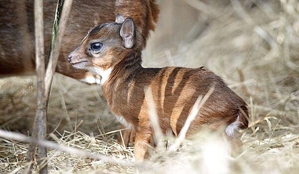 Фото: Детеныш карликовой антилопы