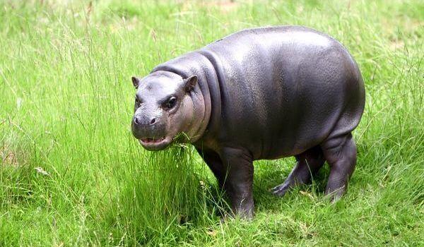 Фото: Карликовый бегемот в природе