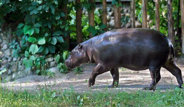 Фото: Карликовый бегемот
