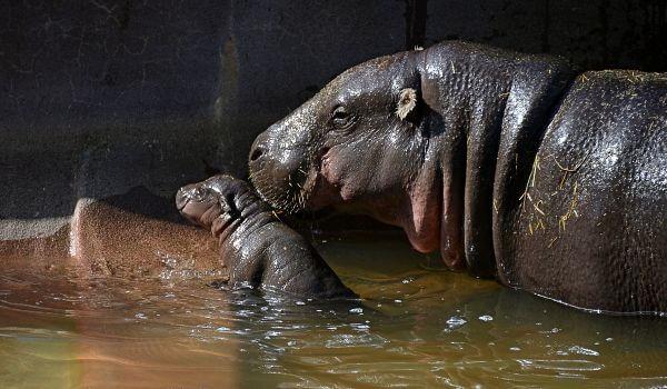 Фото: Детеныш карликового бегемота