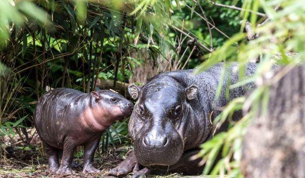 Фото: Карликовый бегемот в Африке