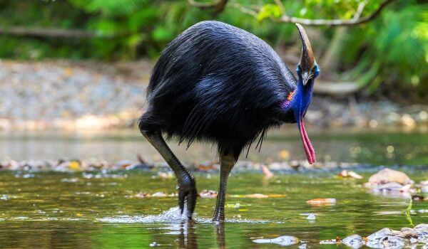 Фото: Казуар похожий на страуса
