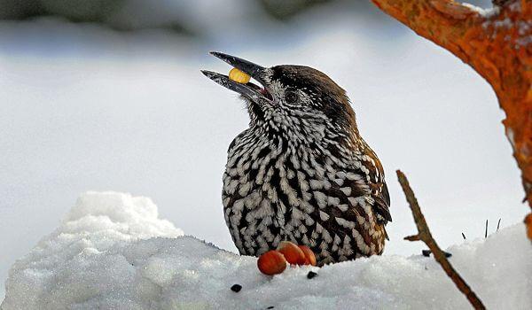 Фото: Птица кедровка
