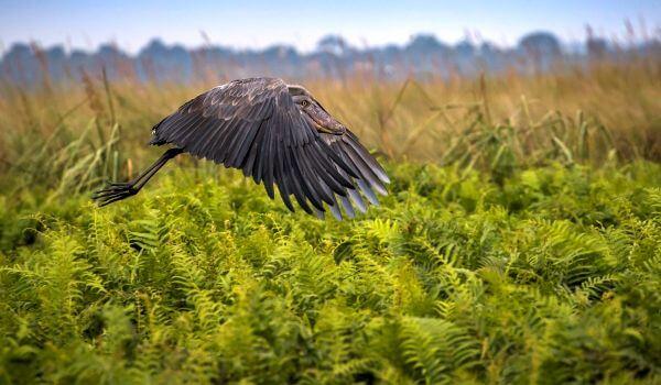 Фото: Китоглав в полете