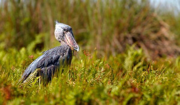 Фото: Китоглав в природе
