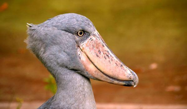 Фото: Птица китоглав