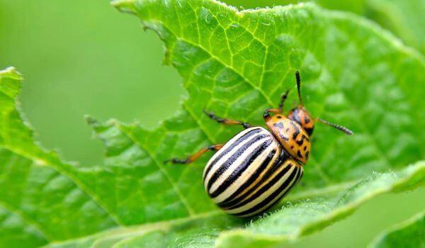 Фото: Колорадский жук в России