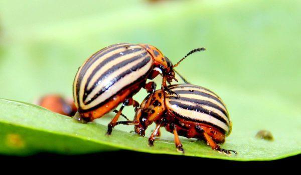 Фото: Колорадский жук