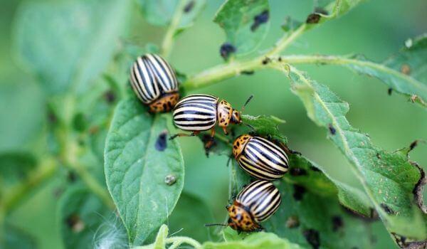 Фото: Колорадские жуки