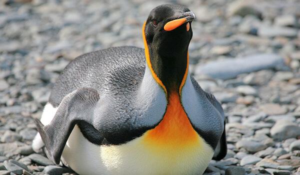 Фото: Королевский пингвин в природе