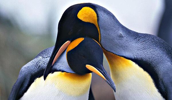Фото: Пара королевских пингвинов