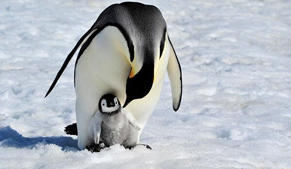 Фото: Детеныш королевского пингвина
