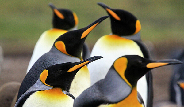 Фото: Королевские пингвины