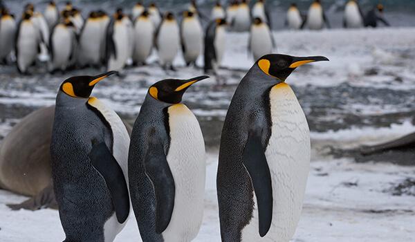 Фото: Королевские пингвины на Южном полюсе