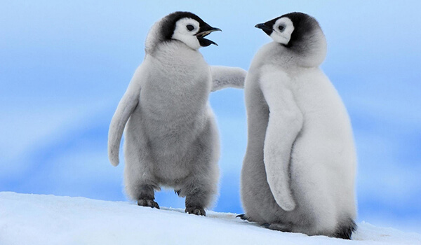 Фото: Детеныши королевского пингвина