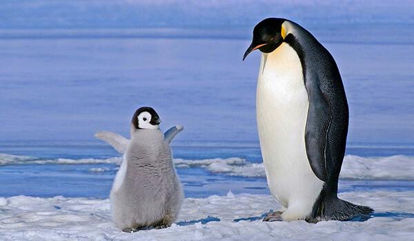 Фото: Самка и детеныш королевского пингвина
