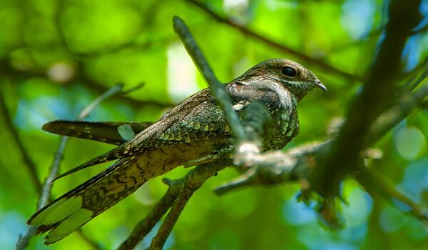 Фото: Птица козодой