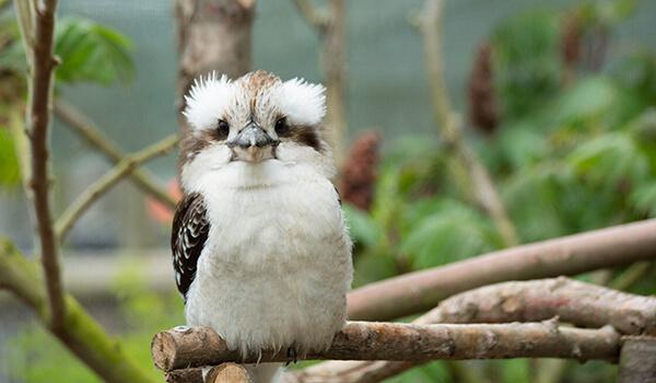 Фото: Птица кукабарра
