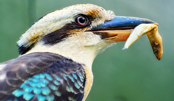 Фото: Кукабарра в природе