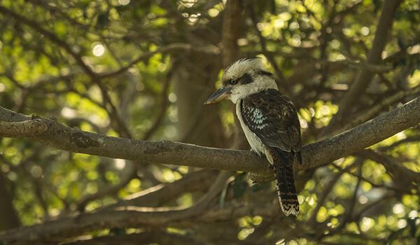 Фото: Ночная птица кукабарра
