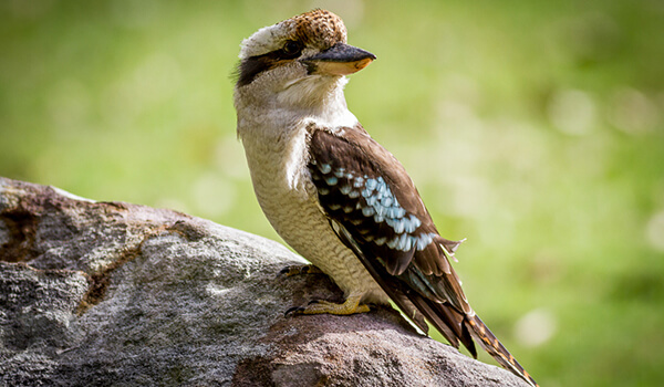 Фото: Кукабарра в Австралии