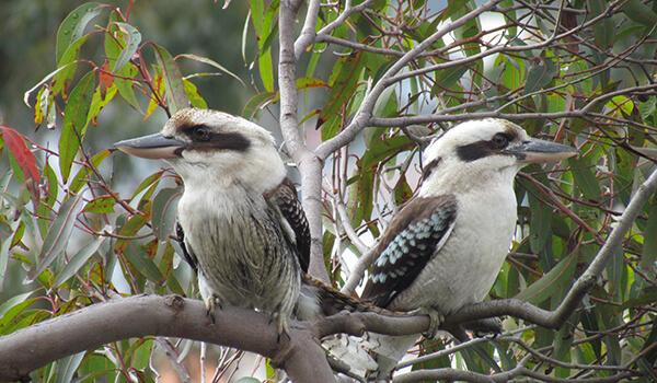 Фото: Птички кукабарра