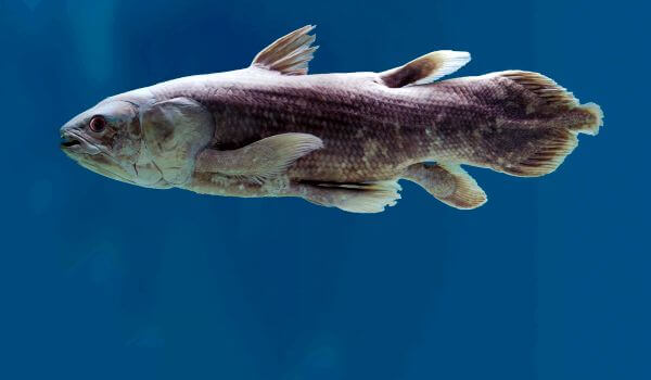 Фото: Рыба латимерия