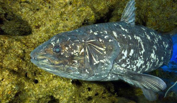 Фото: Рыба латимерия из Красной книги
