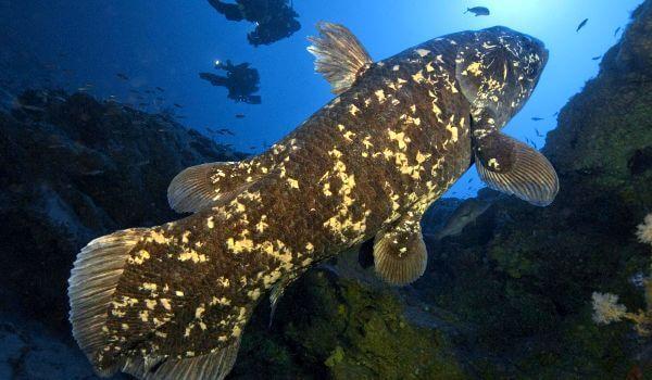Фото: Кистеперая рыба латимерия