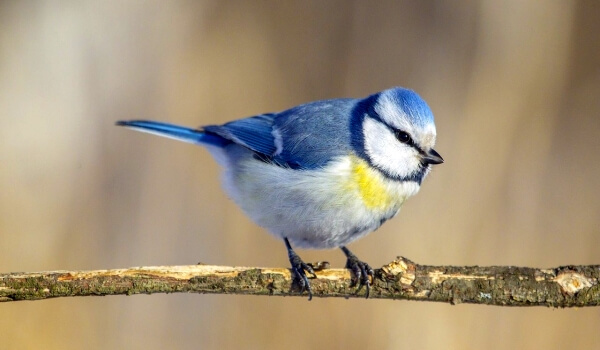 Фото: Птица лазоревка