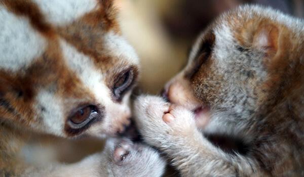 Фото: Детеныши лемура лори