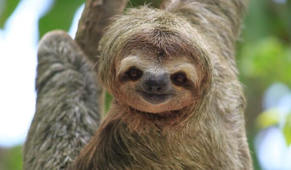Фото: Малый ленивец