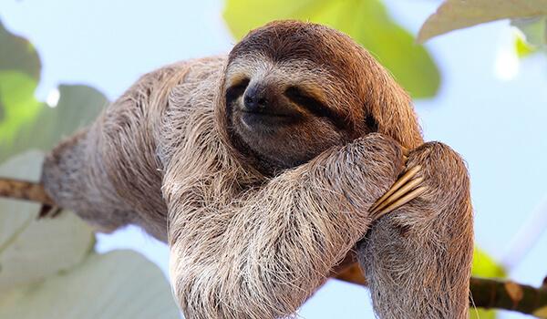 Фото: Смешной ленивец