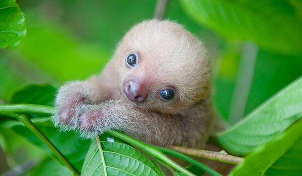 Фото: Детеныш ленивца