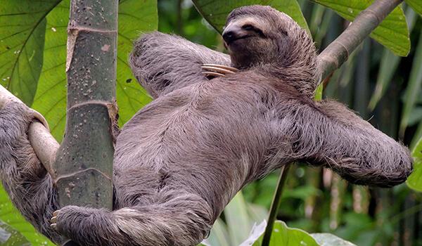 Фото: Ленивец в Америке