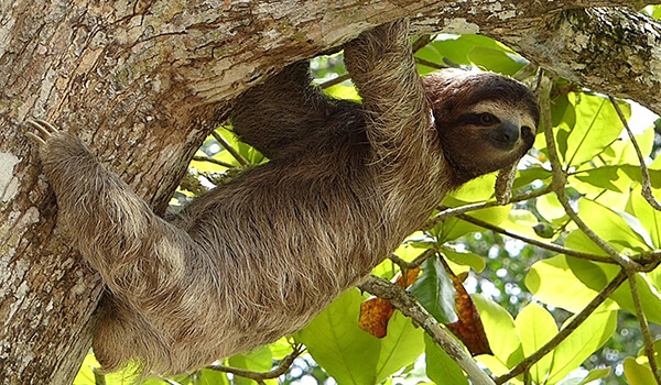 Фото: Ленивец в природе