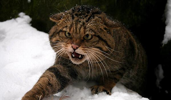 Фото: Лесной кот из Красной книги