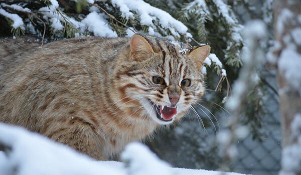 Фото: Дикий лесной кот