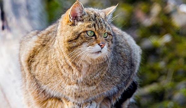Фото: Дальневосточный лесной кот