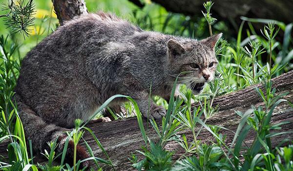 Фото: Как выглядит лесной кот