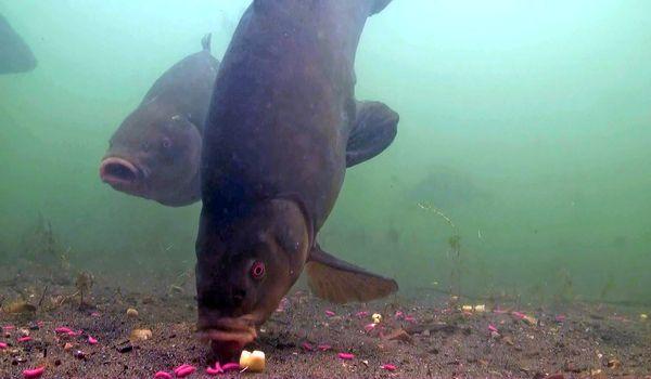 Фото: Рыба линь под водой