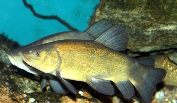 Фото: Рыба линь
