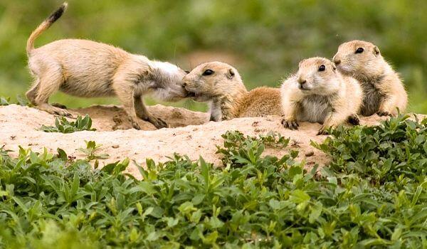 Фото: Луговые собачки