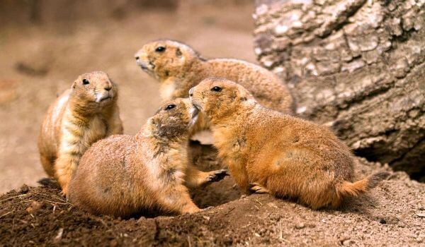 Фото: Семья луговых собачек