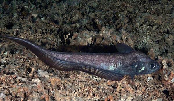 Фото: Макрурус под водой