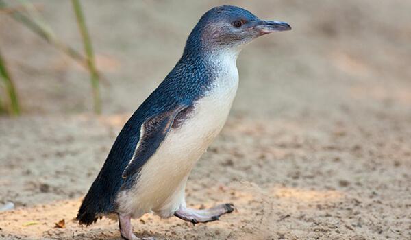 Фото: Малый пингвин в природе