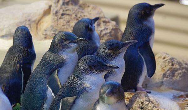 Фото: Малые пингвины в природе