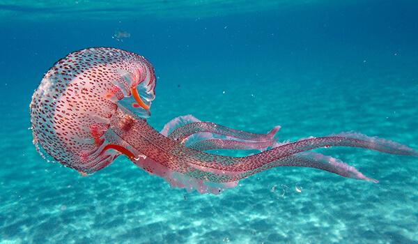 Фото: Розовая медуза