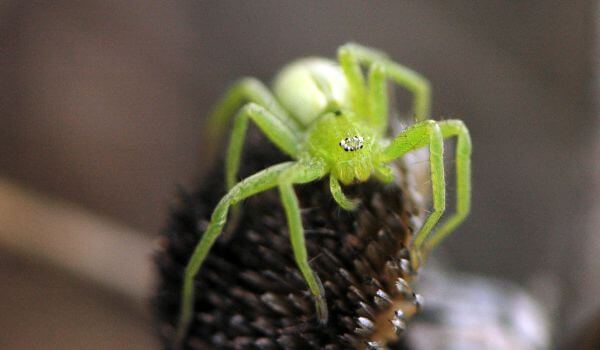 Фото: микромата зеленоватая